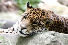 Miaow (Sakun) Tags: animal guepard leopard animalia felin sauvage felids