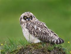 Short-eared Owl (Brandugla) 62 (sindri_skulason) Tags: shortearedowl brandugla