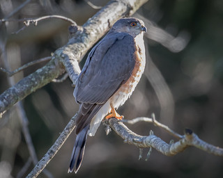 Sharp-shinned Hawk  (MD)  1Z9A1654
