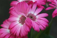 Double Gerbera (crafty1tutu (Ann)) Tags: pink plant flower macro strange garden outdoor blossoms twin double gerbera unusual blooms mygarden inmygarden anncameron naturethroughthelens crafty1tutu anaturecanvas canon180mm35lseriesmacrolens canon1dx