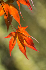 Japanese maple (Margaret S.S) Tags: maple acer palmatum japenese