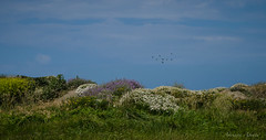 Una giornata al mare, 15 maggio 2016 (adrianaaprati) Tags: sea mer beach lago meer mare dune uccelli cielo laguna fiori acqua margherite calmaallaperto
