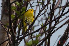 Yellow Warbler-16-10 (Ian L Winter) Tags: ca canada nature birds newfoundland stjohns yellowwarbler wilsonswarbler newfoundlandandlabrador bidgoodspark