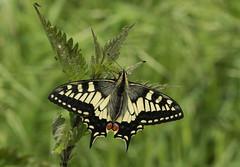 Swallowtail (Papilio machaon britannicus) (explored) (Anne Richardson) Tags: explored butterfly swallowtail beautiful summer strumpshaw norfolk macro wildlife nature sigma canon photography 7dmkii