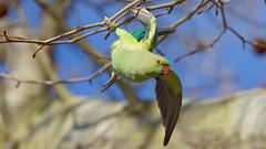 DSC04453_DxO-1600Q95_3+2N+++ (Franck Zumella) Tags: bird rose collier rouge fly flying vert perruche parakeet ringed perroquet voler