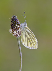 Green - veined White Pieris napi (Ivan Lynas Nature Photography) Tags: