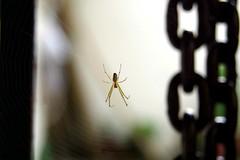 Araa Encadenada (Roberto Segura) Tags: macro spider chains cadenas pentax araa ks2 pentaxart