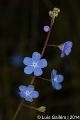 Omphalodes nitida Hoffmanns. & Link (Lus Gaifm) Tags: flower macro planta nature natureza flor plantae boraginaceae navelwort maracho lusgaifm omphalodesnitida alfeiqueportugus