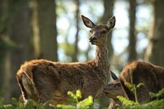 Red deer and birds on the Quantock hills (Cosper Wosper) Tags: somerset reddeer quantockhills