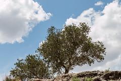 67Jovi-20160529-0083.jpg (67JOVI) Tags: valencia olivo albufera muntanyetadelsants