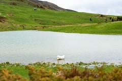 Exploring a  new lake (balu51) Tags: summer dog white lake cold green water juni landscape see hiking sommer foggy meadow wiesen berge hund grn mountainlake bergsee kalt landschaft weiss kuvasz wanderung 2016 graubnden libi neblig ungarischerhirtenhund schamserberg copyrightbybalu51