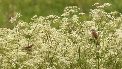 Whitethroats (jo.angell) Tags: birds wildlife