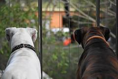 watching the 'Firies' (christinemargaretlynch) Tags: view boxer verandah ddogchal