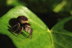 Jumping Spider (Loconauta) Tags: macro spider macrodreams