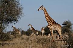 Giraffe (happybirds.ch) Tags: nature wildlife giraffe kruger girafe afriquedusud viesauvage