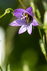 Campanule Raiponce et son hte (regisfiacre) Tags: flower macro green nature fleur fleurs couleurs meadow violet vert bee prairie printemps abeille flore moselle campanule exterieur raiponce