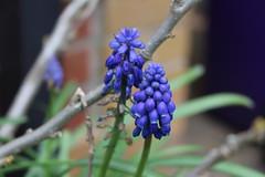 Grape Hyacinths (2) (Phil Masters) Tags: flowers hyacinth grapehyacinth hyacinths grapehyacinths 8thapril april2016