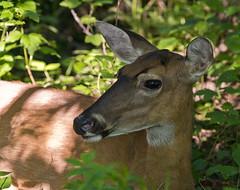 061916111084asmweb (ecwillet) Tags: nikon deer harrisburgpa whitetaileddeer susquehannariver wildwoodparkharrisburgpa nikond800e nikon200500f56