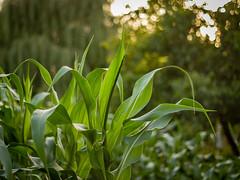 P1200416-1 (picicsoda) Tags: garden 50mm md minolta manual maize f17 rokkor