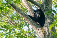 _DSC3707-2 (KewliePhotos) Tags: bear virginia nationalpark wildlife bears shenandoah shenandoahvalley blackbear blackbears shenandoahnationalpark