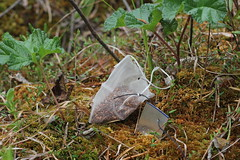 A tea bag with a metal label on the S. fuscum surface in the treed bog plot. (Yugra State University) Tags: decomposition greentea carboncycle raisedbog massloss mukhrinofieldstation roiboostea teabagindex teacomposition standardisedplantlitter