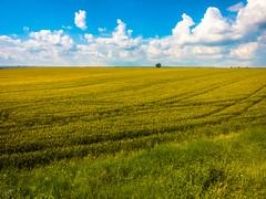 Wheat (Hasan Yuzeir) Tags: blue summer sky sun green nature landscape phone wheat horizon samsung galaxy distance hasanyuzeir