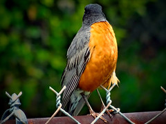 camera shy (boriches) Tags: robin