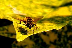 zweefvlieg (j.vanesch) Tags: insect zweefvlieg