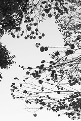 Leaves Silhouette (Yuta Ohashi LTX) Tags: light shadow bw white black tree monochrome leaves silhouette composition contrast leaf nikon d750  f4       24120