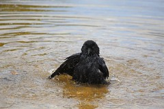 Embarrassing... (defblow) Tags: black nature water birds droplets funny crow bathing carrion bathtime splashing