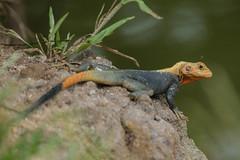 Agama Lizard, Ghana (CarolineG2011) Tags: africa male reptile wildlife lizard ghana agama