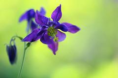 Purple Columbine (lfeng1014) Tags: flower macro closeup dof bokeh depthoffield columbine macrophotography lifeng purplecolumbine canon5dmarkiii 100mmf28lmacroisusm