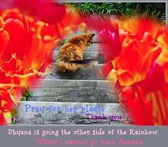 Mon Amour s'en va et mon coeur se brise (Dhyana is going to heaven soon) Tags: rainbow crying dying dhyana larmes arcenciel aurevoir maladie findevie coeurbrise herpesvirosfeline hrpesvirus problmesrespiratoires
