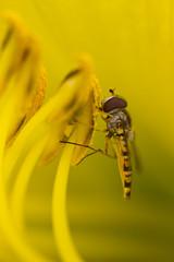 hoverfly in hemerocallis (carolina b. fotografie) Tags: flowers macro garden insects tuin bloemen hoverfly insecten zweefvlieg