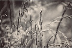 roaming through the silence (***toile filante***) Tags: summer nature monochrome grass june juni sepia sommer natur meadow wiese poetic silence expressive dreamy gras melancholy emotions stille gefhl poetisch