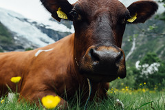 Hi there (HolmisticWalker) Tags: norway cow july there hi eos6d samyang35mm