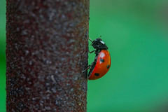 Ladybird (rbsotirov) Tags: nikon captured ring using ladybird marco helios 442 macrophotography 4402 d3300
