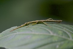 A stick insect, Playa las Mariposas, San Martin, Peru  6/14/16 (abcdefgewing) Tags: insect mimicry phasmatodea