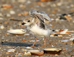 Endangered Piping Plover Chick (William  Dalton) Tags: plover pipingplover endangeredspecies sandyhooknj plovers pipingploverchick