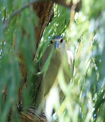 EOS14447 View Large. I see you (E.W. Smit Wildlife) Tags: ocean california park usa lake bird heron nature birds animal animals canon outdoors outdoor wildlife unitedstatesofamerica parks tourist tourists socal wildanimal southerncalifornia temecula gitzo avian telephotolens wildanimals blackcrownednightheron riversidecounty nightheron canoneos1dmarkiii temeculacalifornia canonef300mmf28lisusm ef300mmf28lis ef300mmf28lisusm 1dmarkiii canonef300mmf28lis canon1dmarkiii ef300mmf28lisusm14x supertelephotolens ef300mmf28lis14x canonef300mmf28lisusm14x canonef300mmf28lis14x
