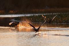 Swans at Sunrise (blachswan) Tags: australia victoria swans birdsinflight blackswan ballarat lakewendouree