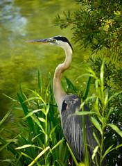 Waiting for Lunch - Explore 7/2/16 (Terri Toll) Tags: bird heron nature pond flickr florida wildlife wadingbird d610 earthnaturelife