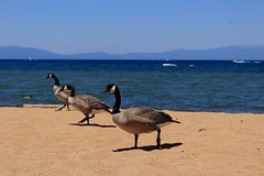 Geese at the Beach (passerbystander) Tags: beach geese tahoe