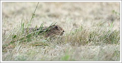 cache-cache (guiguid45) Tags: rabbit nature nikon animaux sauvage loiret lepuseuropaeus mammifres 500mmf4 d810 livredeurope