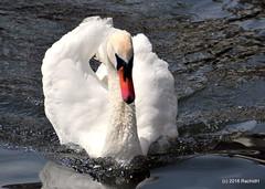 DSC_0512 (rachidH) Tags: birds oiseaux swan cygne muteswan cygnusolor cygnetubercul thames river kingston london england uk rachidh nature swanlings cygnets