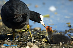 Coot feeding chick (Allan Jones Photographer) Tags: coot chick waterbird bird feeding rearing youngcoot allanjonesphotographer canon5d3 canonef100400mmf4556lisusm