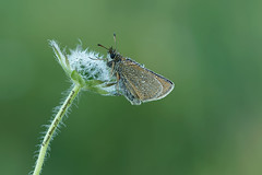 Dew Covered Skipper (Louise Morris (looloobey)) Tags: aq7i7414 skipper glos august2016 david dew early perched small butterfly field