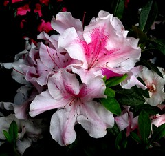 Azalea.... (Anni - with camera) Tags: azalea white pink green canon ixus 115hs