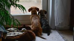(Kenneth Gerlach) Tags: animals chili gravhund gravhundruhret miniaturegravhund pets ruhret rd