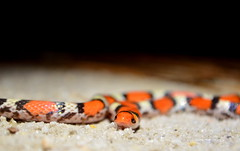 Northern Scarlet Snake (Marsh, D.) Tags: northernscarletsnake scarletsnake northernscarlet cemophoracoccineacopei colubrid tricolor snake mimicry coralsnakemimic squamata squamate reptile herp fieldherping herping floridasnake wakullacounty florida nature nikond5100 marshd